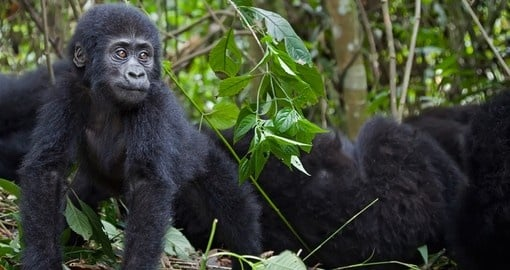 Meet young mountain gorillas and watch their interaction during your next trip to Rwanda.