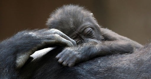 See baby gorillas on your Rwanda Safari
