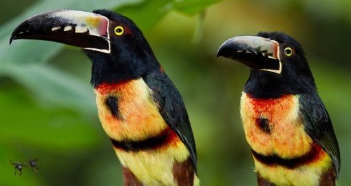 Aracari toucan in the rainforest