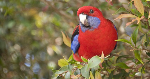 Lamington National Park boasts an incredible diversity of wildlife including the Crimson Rosella