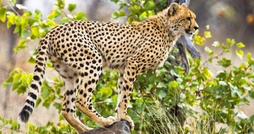 A cheetah in Kruger National Park