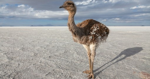 A rhea on the salt lake of Uyuni