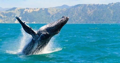 Whale playing in the waters of Kaikoura