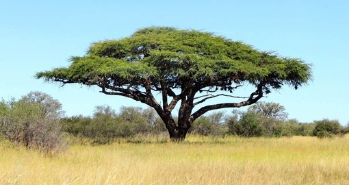 Acacia tree in Hwange National Park