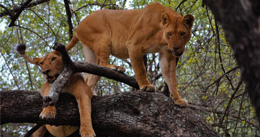 Lake Manyara National Park is famous for it's tree-climbing Lions