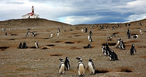 Discover this magnificent Magellan penguins in Punta Arenas on your next Antarctica tours.