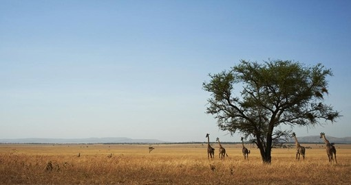 Your Tanzania Safari visits the Serengeti National Park