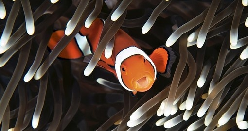 Clown Fish Inhabit the Great Barrier Reef