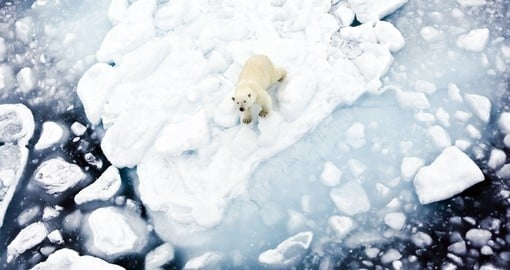 On your Arctic Vacation you may encounter a polar bear floating on a ice cap throughout the ocean