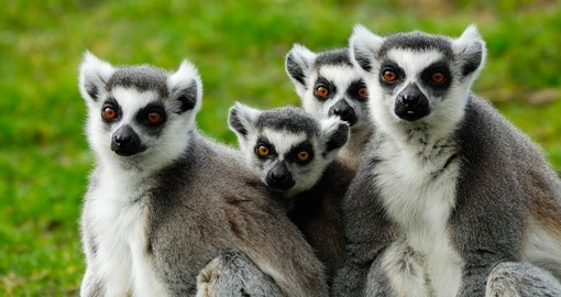Family of Ring Tail Lemurs