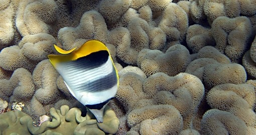 You might be able to watch Double Saddle Butterfly Fish swim on your next trip to Australia.