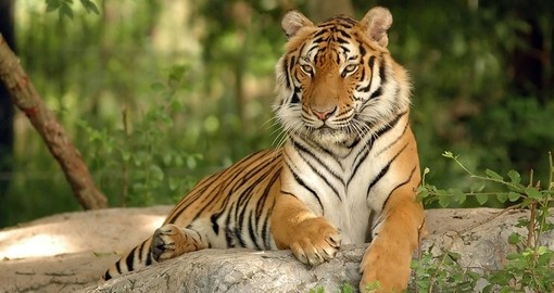 A Tiger in India