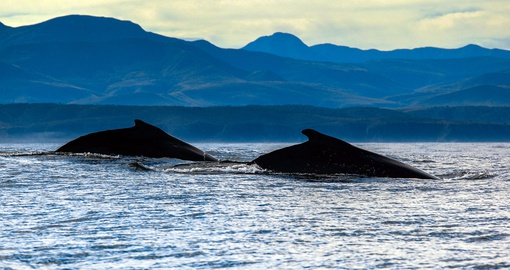 Watch Humpback whales along the Garden Rout during your South Africa vacation