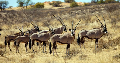 The gemsbok or oryx are a common sight in the arid Kalahari