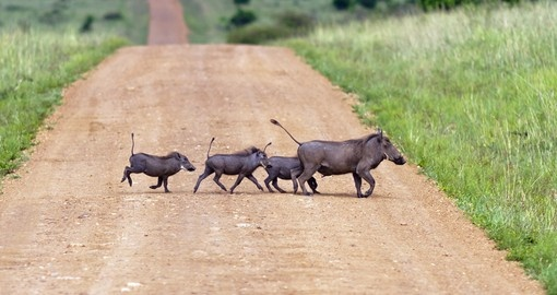 Family of warthogs, Masai Mara National Park