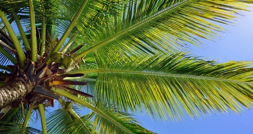 Coconuts on beautiful palm tree