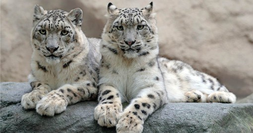Snow Leopards at Himalayan Zoo