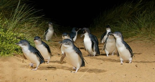 Witness the Penguin Parade on Philip Island during your Australia Vacation