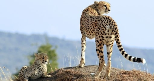 A cheetah and cub, Masai Mara