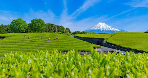 Shizuoka is the largest tea-producing area in Japan