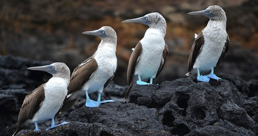 Hang out with Blue Footed Boobies on your trip to Ecuador