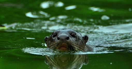 Make friends with giant otters on your Peru vacation