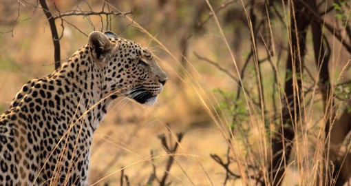 Leopards are extremely elusive, solitary and nocturnal