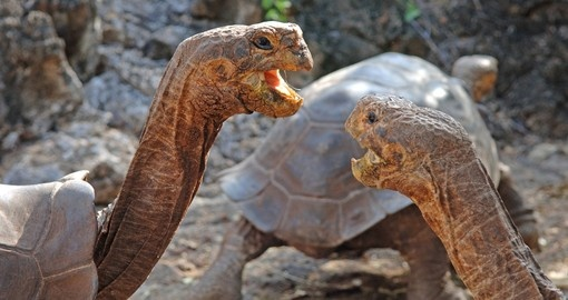 Tortoise pair in ritual communication