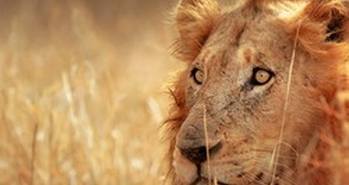 Lions are a member of The Big Five and a must see on any trip to South Africa