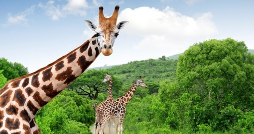 Explore wildlife during your safari in Kruger National Park on your next trip to South Africa.
