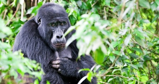 See the Mountain Gorillas on your Uganda Safari