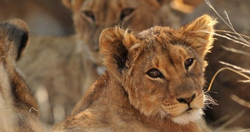 Lions up close in the bush