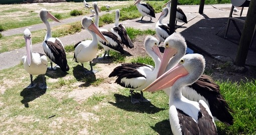 Local Spot-billed pelicans
