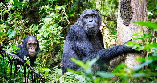 Uganda is home to a sizeable population of chimpanzees