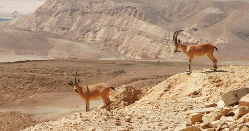 Two ibexes at Ramon Crater in Negev