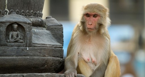 Macaque sitting in the monkey temple
