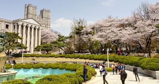 Cherry blossom trees in Kyung Hee University