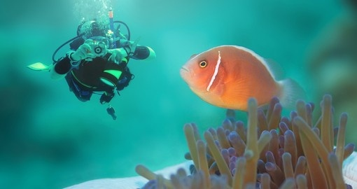 A diver with a pink clownfish