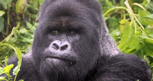 Meet nice Adult Mountain Goriall in Bwindi Impenetrable Forest while you are traveling to Uganda.
