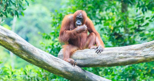 Experience the Orang Utans at the Semenggoh Rehabilitation Centre on your Malaysia Vacations