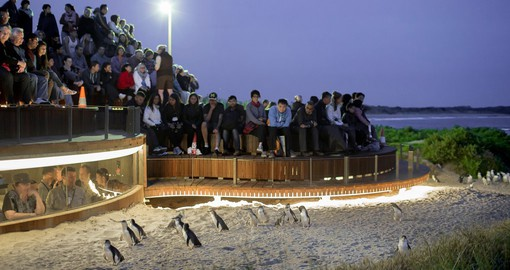 "Visit Phillip Island and witness the nightly ""Penguin Parade"""