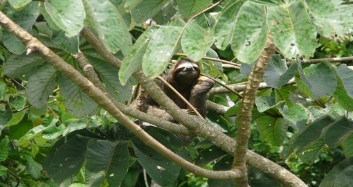 Three toed sloth resting over a branch close to canopy tower lodge, Soberania National Park in Panama
