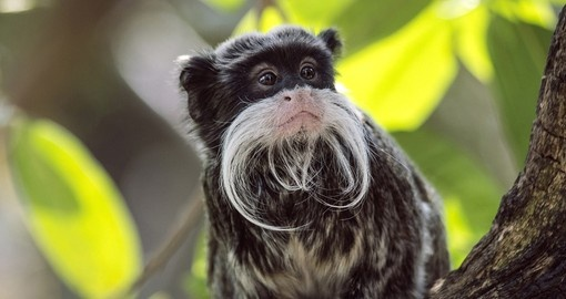 Emperor Tamarin in a tree amongst leaves