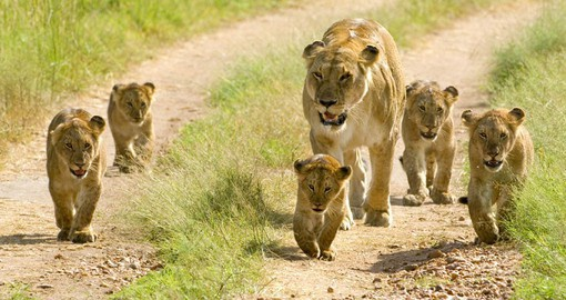 The Mara is renown for its exceptional population of lions, leopards and cheetahs