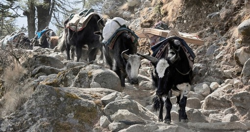 A Yak caravan near Tengboche located in the Mount Everest region