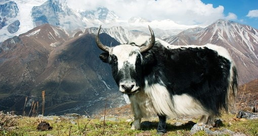 On this easy trek, you'll have the opportunity to different kinds of domesticated animals, a perfect Nepal Tours