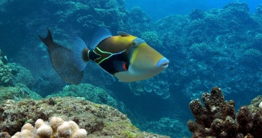 The Picasso Triggerfish is the state fish of Hawaii
