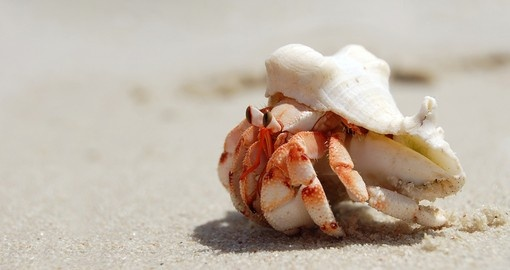 Hermit crab with shell