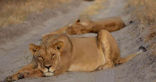 Meet the Lions at Deception Valley Lodge on your Botswana tour