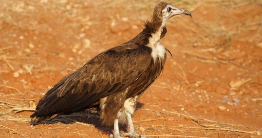 Hooded vulture, Chobe National Park